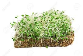 alfalfa sprout plant based protein